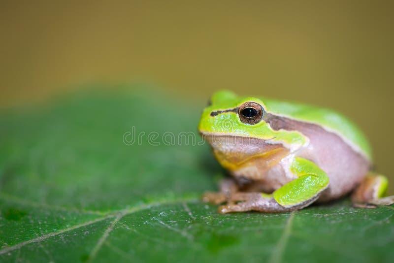 żaby europejski drzewo obrazy stock