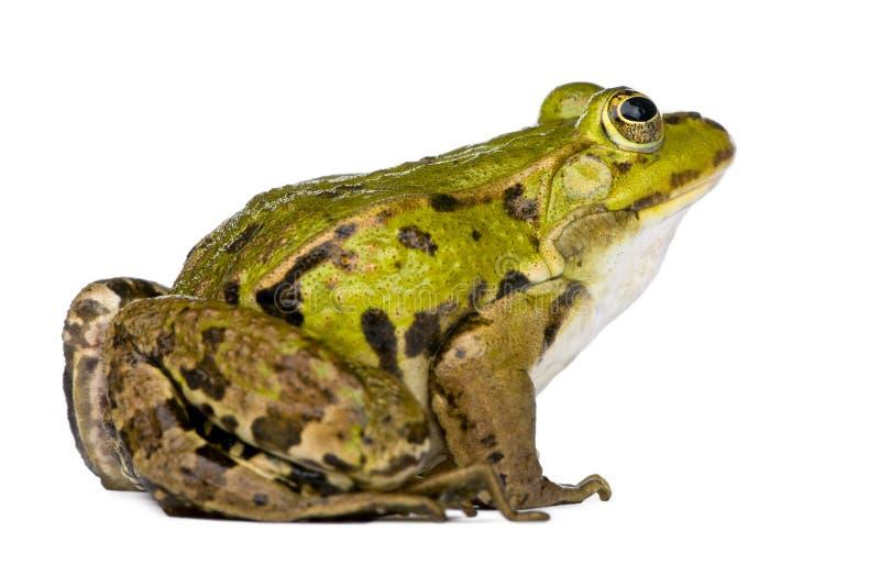 żaby jadalny rana fotografia royalty free