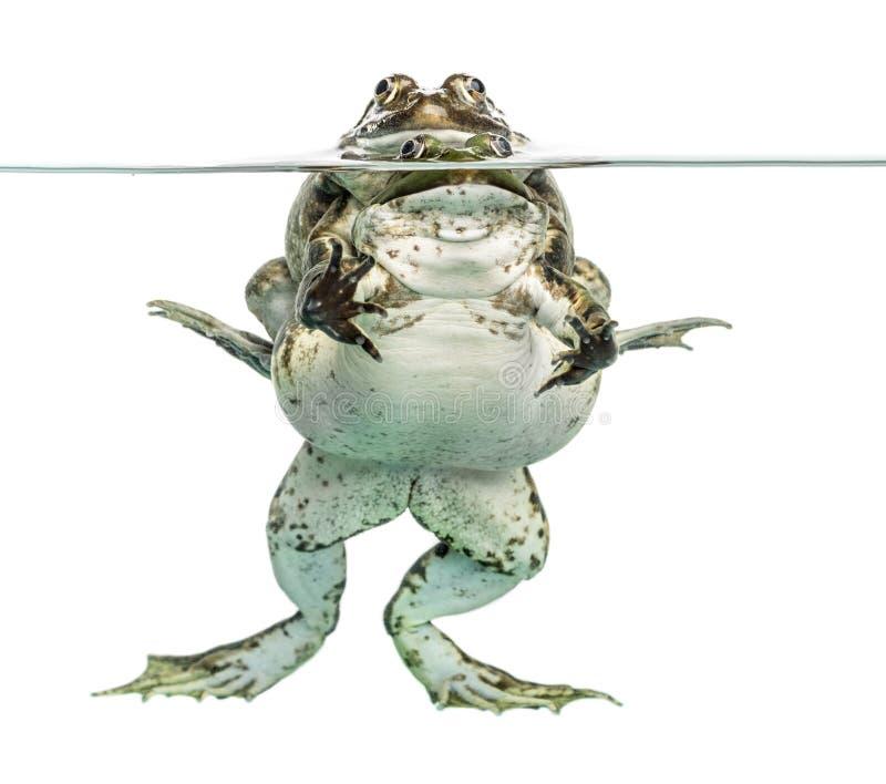 Żaby kopuluje pod jasną wodą, odosobnioną zdjęcie royalty free