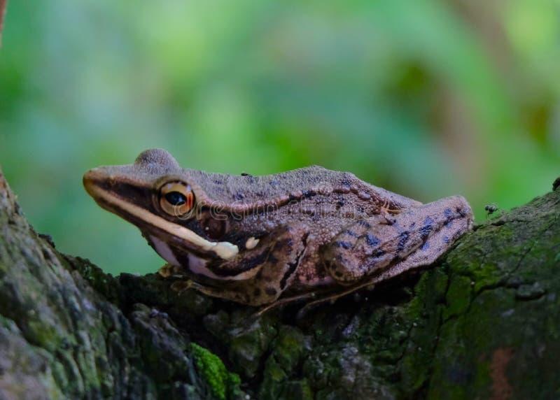 żaby przyrody zieleni zwierzęcia dżungla zdjęcie stock