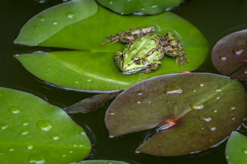 Żaby Rana ridibunda siedzi w stawie na zielonym liściu wodna leluja w kamerę spojrzenia i zdjęcia royalty free