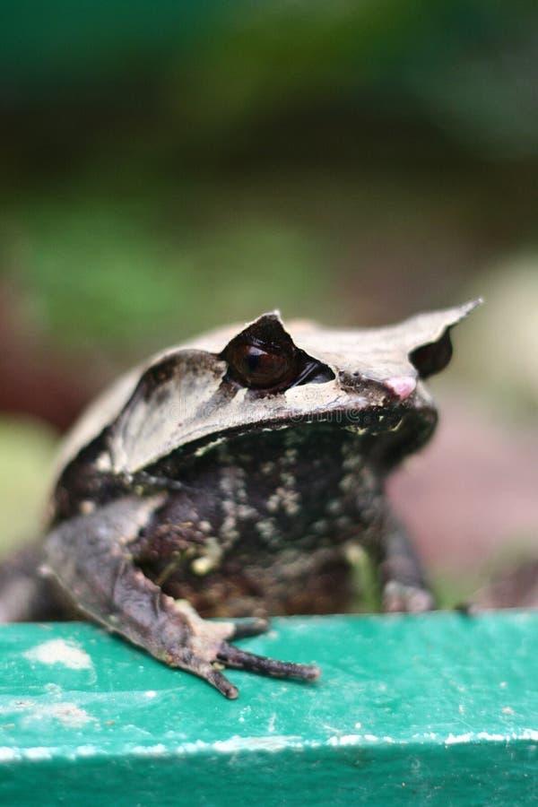 żaby rogaty malayan oko zdjęcia royalty free