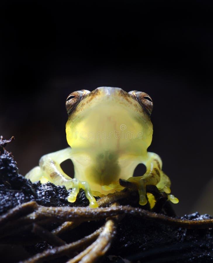 żaby szkło obraz royalty free