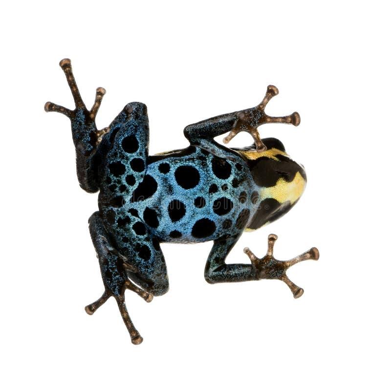 żaby truciznę strzałki obraz stock