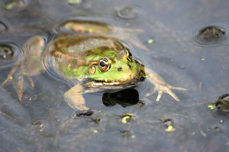 żaby woda zdjęcie stock