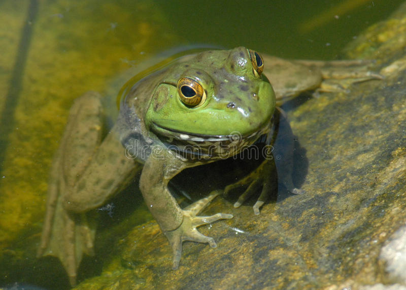 żaby zieleni woda obraz stock