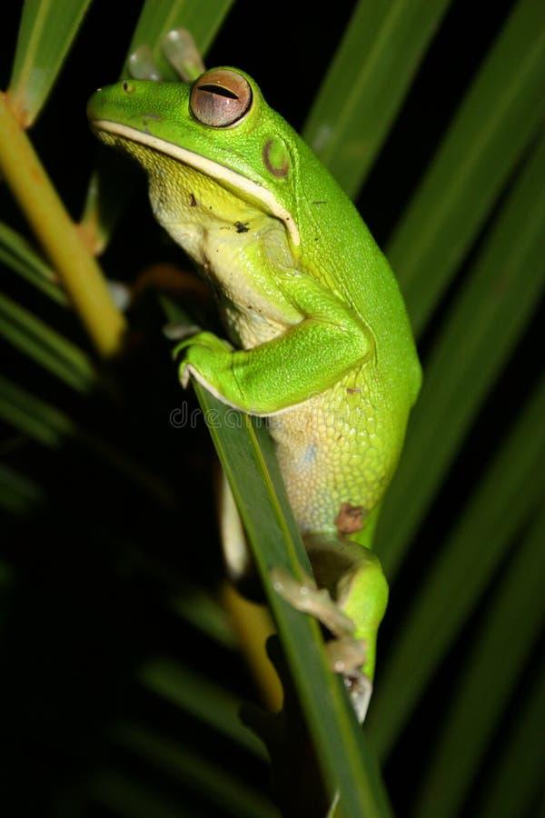 żaby zielone drzewa obraz royalty free