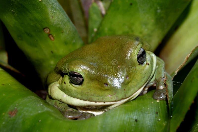 żaby zielone drzewa obrazy royalty free