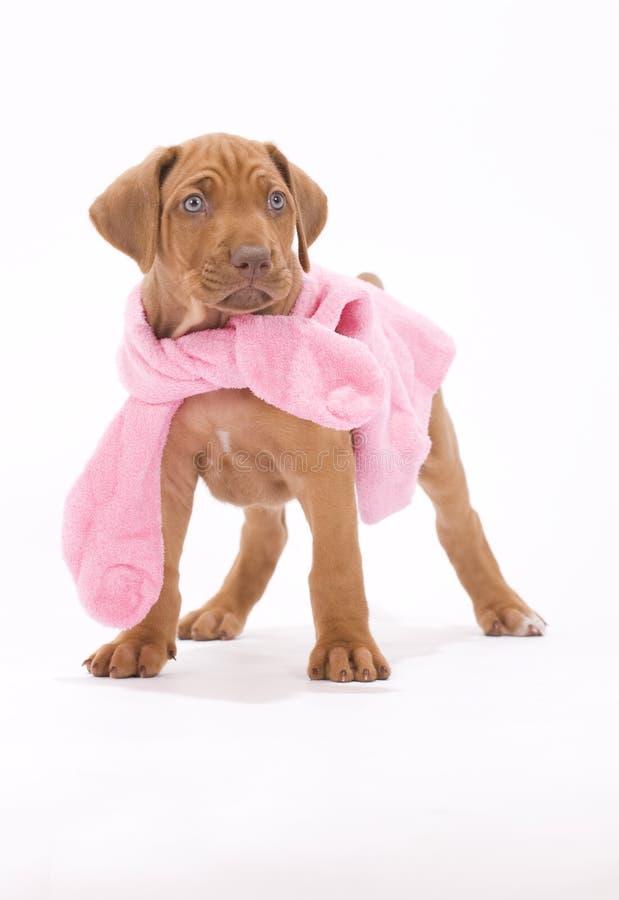 żakieta śliczny mały różowy szczeniaka target1243_0_ zdjęcia stock