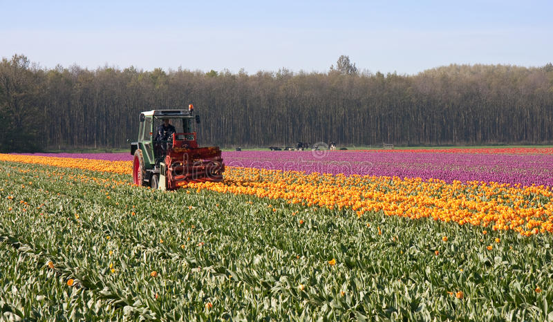 Download żarówki Tnący Holendera Gospodarstwo Rolne Nakrywa Tulipany Obraz Stock - Obraz złożonej z menchie, rolnictwo: 13334217