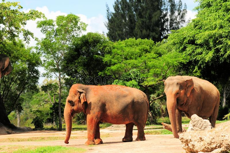 Download Żeńscy Azjatyccy słonie zdjęcie stock. Obraz złożonej z brąz - 28958244