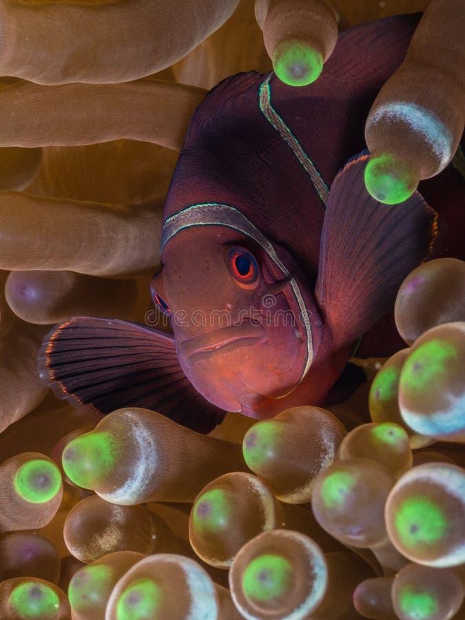 Żeńscy kręgosłupów clownfish zdjęcia stock
