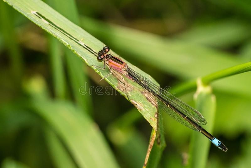 Żeńscy Ogoniaści Damselfly rufescens Ischnura elegans obrazy stock