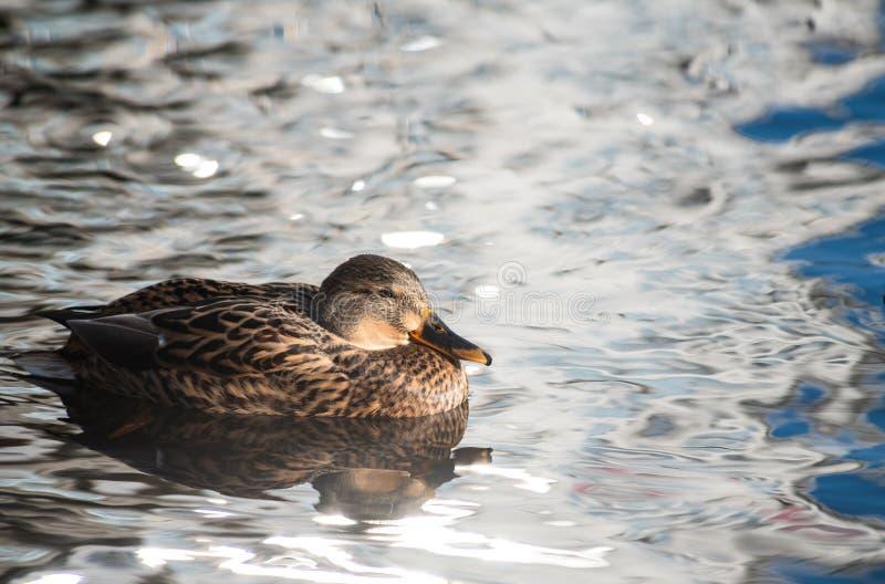 Żeńska kaczka czysta na jezioro wody odbicia natury dzikiej jesieni obraz royalty free