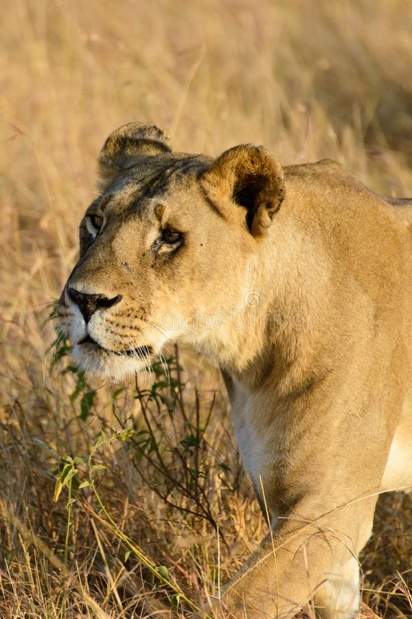 Żeńska lew błąkanina zdjęcia stock