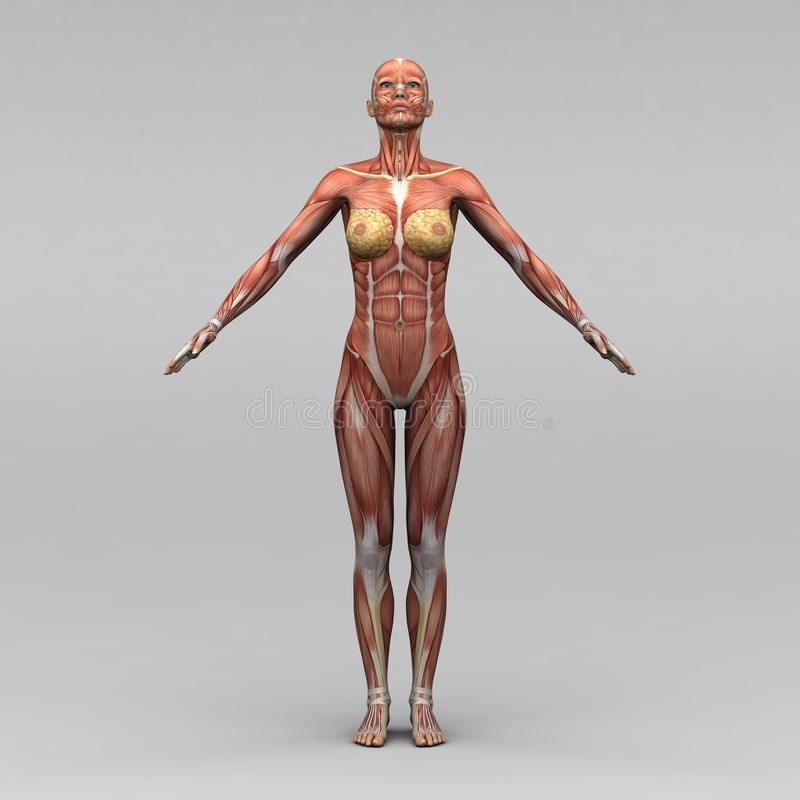 Żeńska ludzka anatomia i mięśnie ilustracji