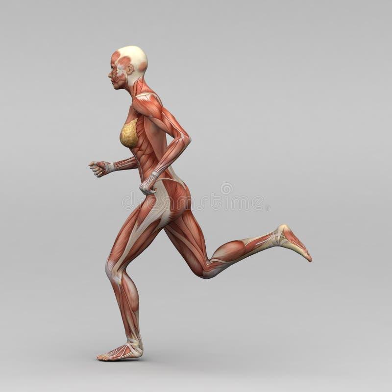 Żeńska ludzka anatomia i mięśnie royalty ilustracja