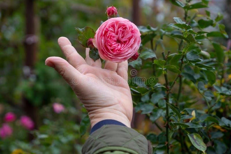 Żeńska ogrodniczka trzyma wypełniającego różowego erotyk róży kwiatu na róża krzaku w ogródzie różanym z miłością w ona palce fotografia royalty free