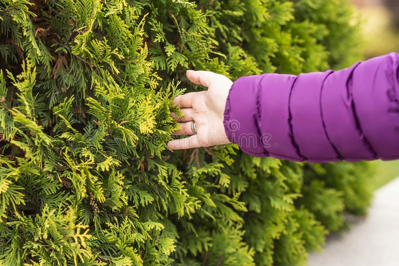 Żeńska ręka, gałąź drzewo, modrzew zdjęcie royalty free