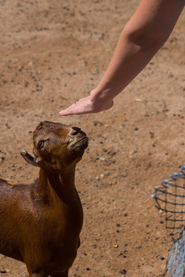 Żeńska ręka muska brown kózki w piórze zdjęcia stock
