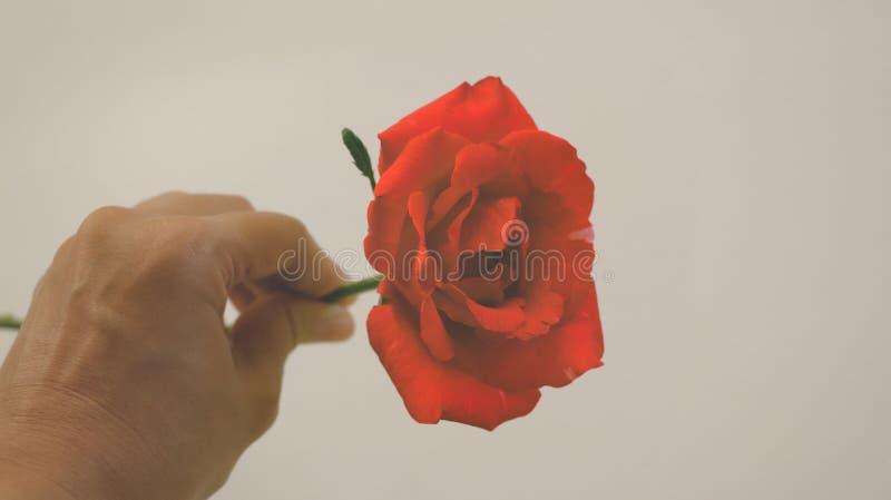 Żeńska ręka Trzyma Świeżą gałąź rocznik rewolucjonistki róża obraz royalty free
