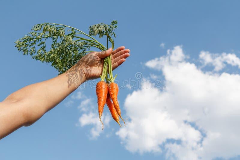 Żeńska ręka trzyma wiązkę rozdzierać marchewki przeciw niebieskiemu niebu zdjęcia stock