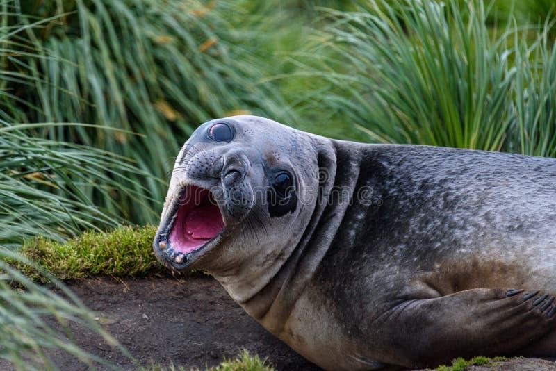 Żeńska słoń foka kłaść błota, miejscowego Tussac trawy w i, fotografia stock