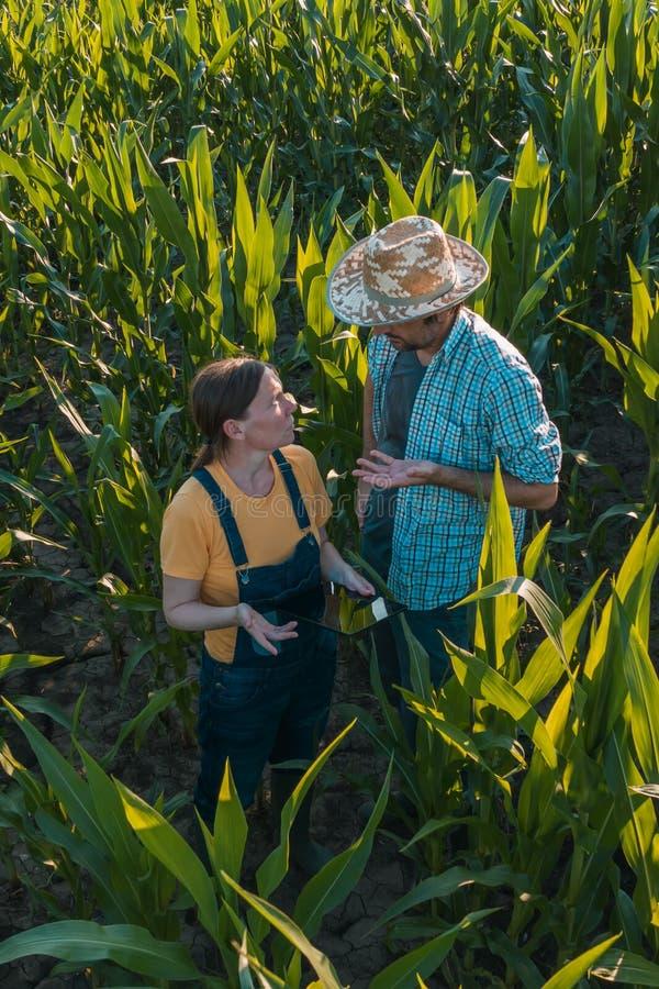 Żeński agronom radzi kukurydzanego rolnika w uprawy polu obraz royalty free