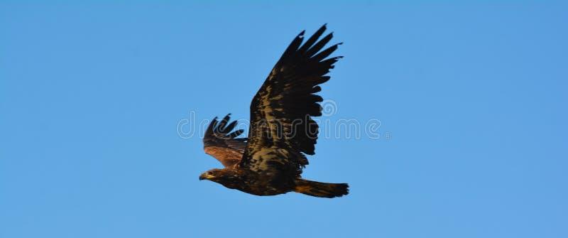 Żeński Amerykański Łysy Eagle zdjęcie stock