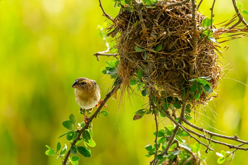 Żeński Azjatycki Złoty tkacza tyczenie blisko swój gniazdeczka podczas ikrzyć się - sezon fotografia royalty free