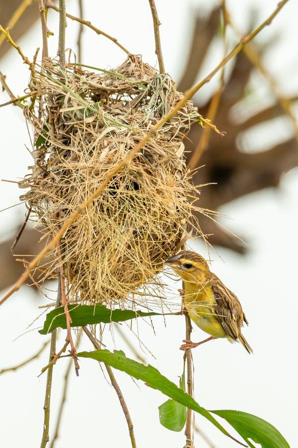 Żeński Azjatycki Złoty tkacza tyczenie blisko swój gniazdeczka podczas ikrzyć się - sezon zdjęcia stock