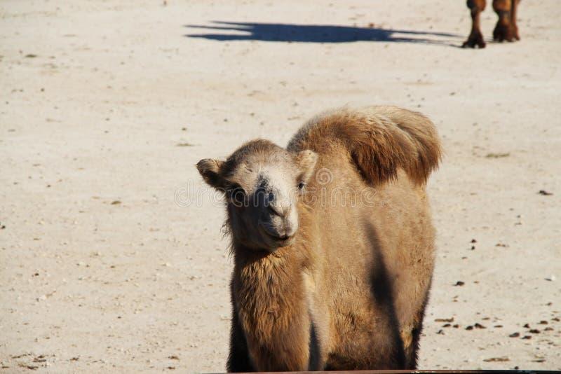 Żeński Bactrian wielbłąd na piasku fotografia stock