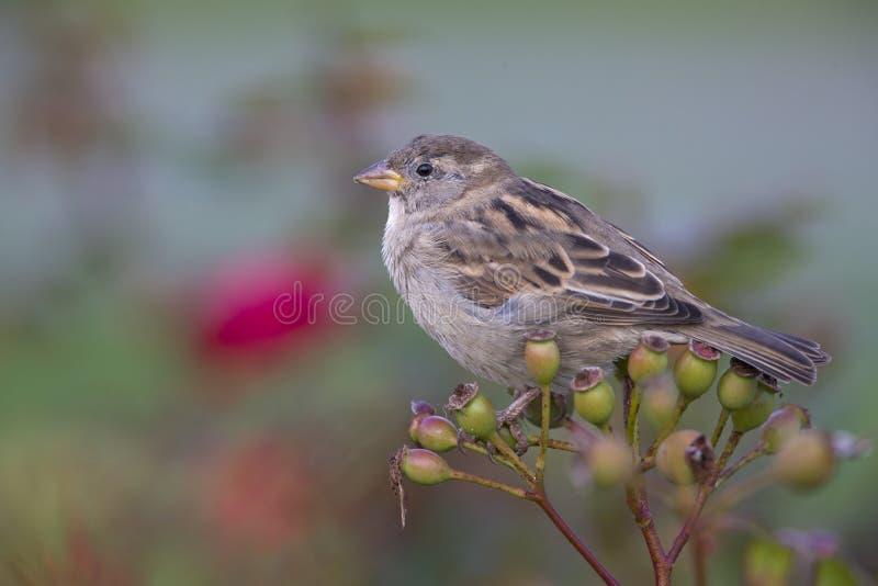 Żeński Domowego wróbla przechodnia domesticus umieszczał na gałąź róży biodra krzak Za ptakiem piękny zielony tło obrazy stock