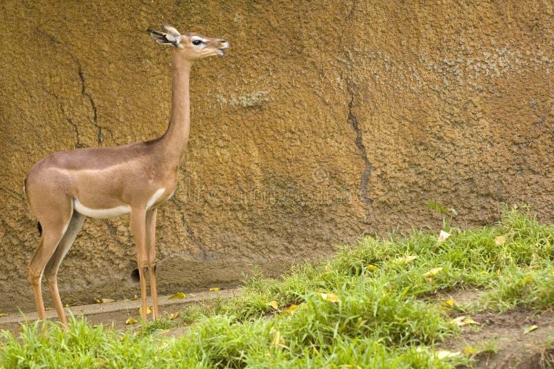 Żeński Gerenuk fotografia stock