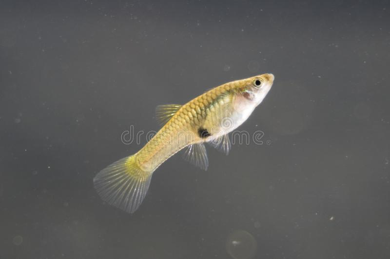Żeński guppy endler obrazy stock