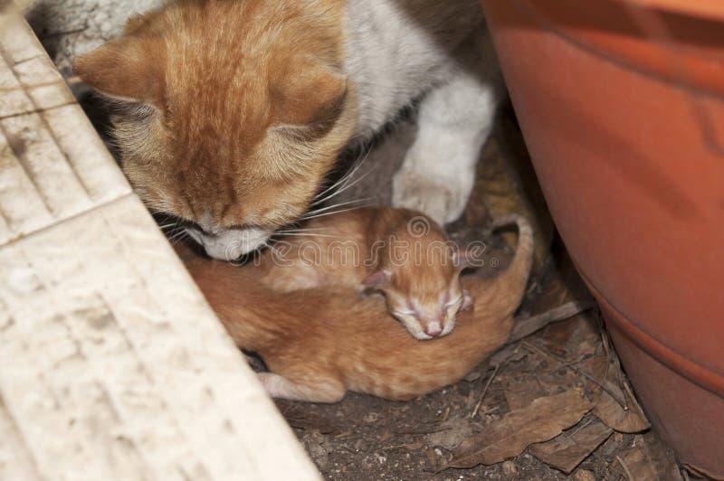 Żeński kot z nowonarodzonymi figlarkami, India obraz royalty free