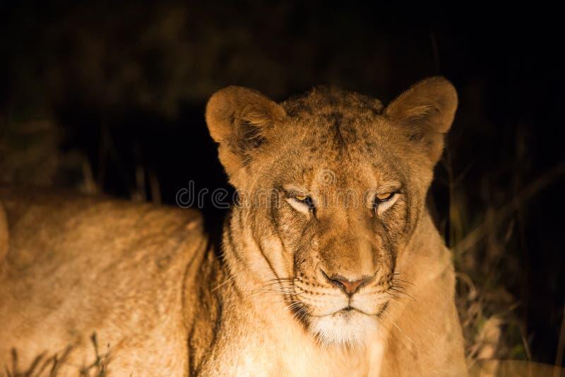 Żeński lew przy nocą obrazy stock