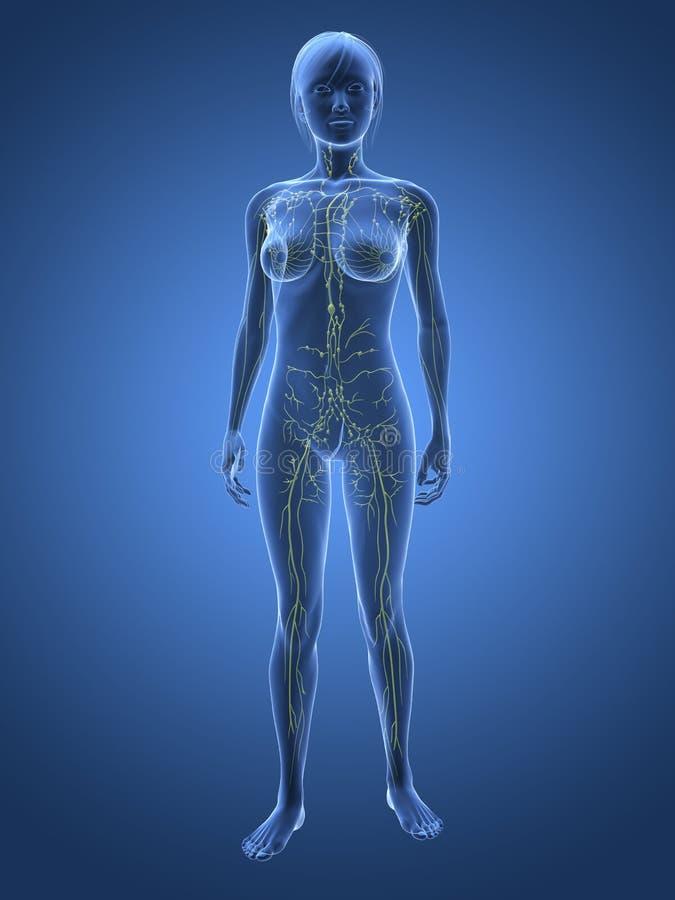 żeński limfatyczny system royalty ilustracja