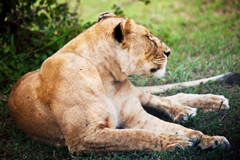 Download Żeński Lwa Lying On The Beach. Serengeti, Tanzania Zdjęcie Stock - Obraz złożonej z drapieżnik, safari: 28951166