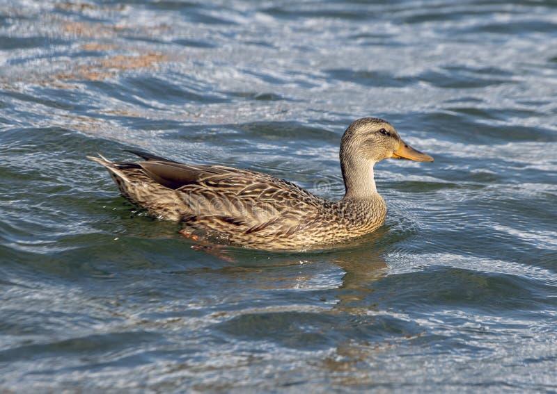 Żeński Mallard kaczki dopłynięcie w Greenlake parku, Seattle, Waszyngton fotografia stock