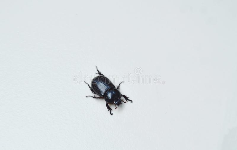 Żeński nosorożec ścigi czołganie na białej dachówkowej podłoga obrazy stock