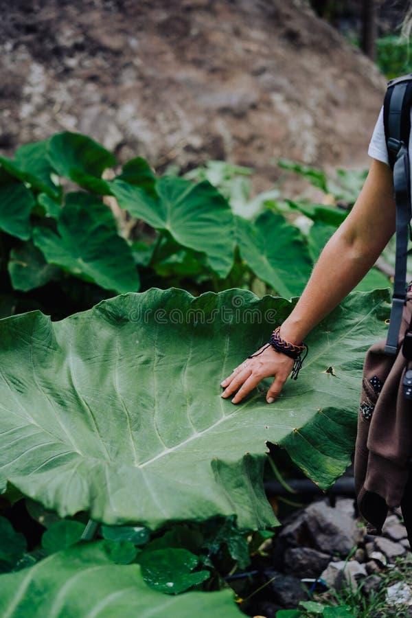 Żeński ręki uderzanie dotyka ogromnego lotosowego liść zdjęcia stock