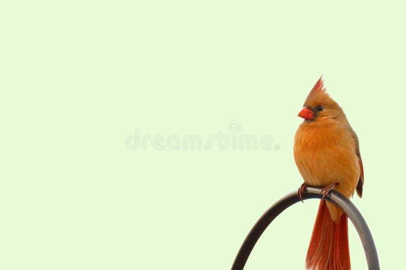żeński redbird fotografia stock