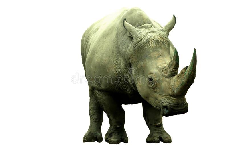żeński rino obraz royalty free