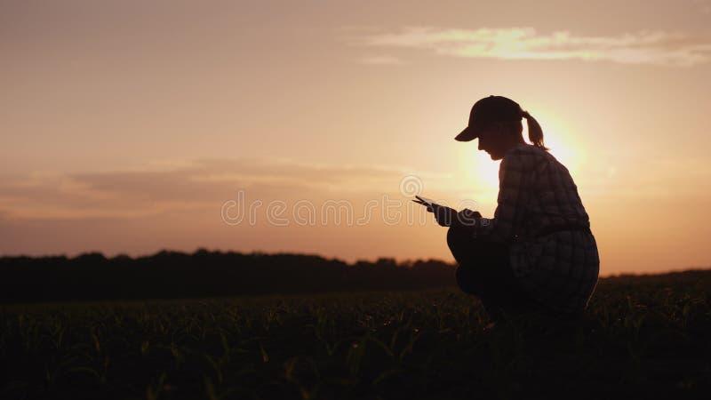 Żeński rolnik pracuje w polu przy zmierzchem Studiujący roślina krótkopędy, używać pastylkę zdjęcie royalty free