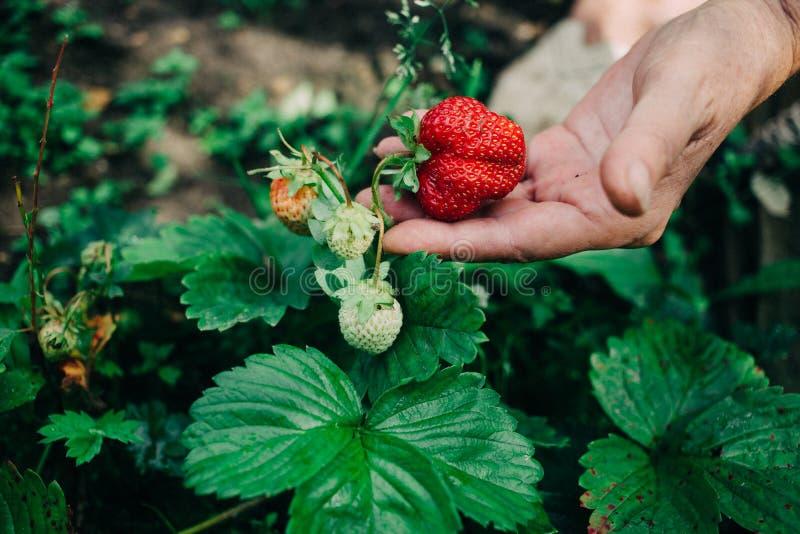 Żeński rolnik trzyma czerwonej dojrzałej truskawki w jeden wręcza zdjęcia royalty free