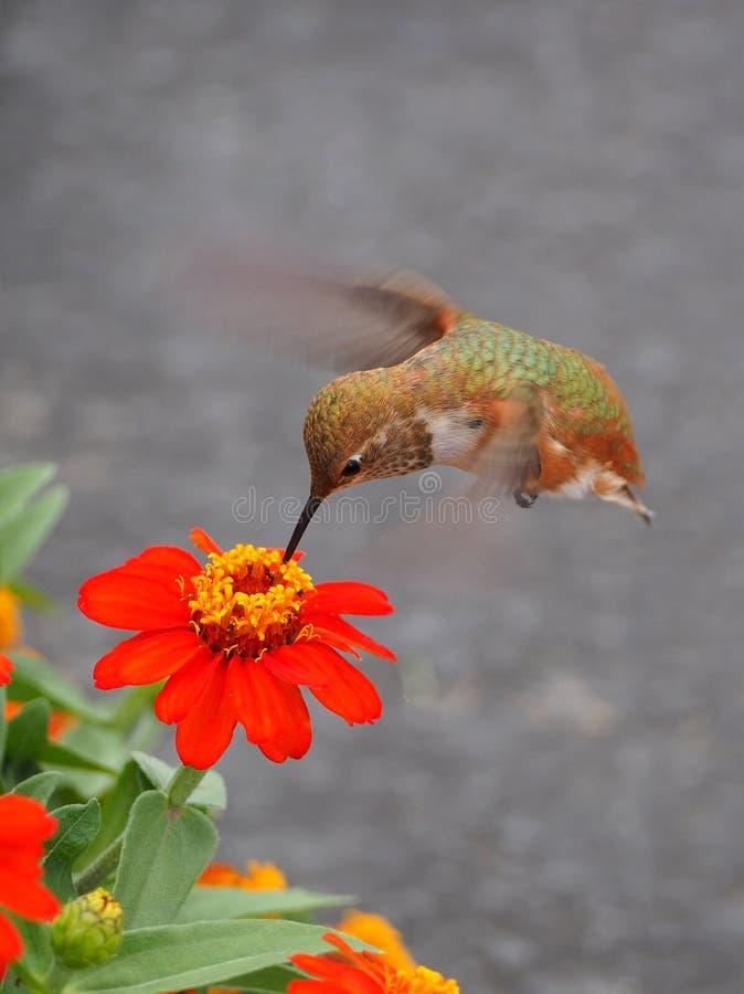 Żeński Ryży Hummingbird popijania nektar od Zinna kwiatu fotografia royalty free