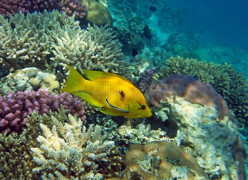 żeński slingjaw wrasse kolor żółty fotografia royalty free