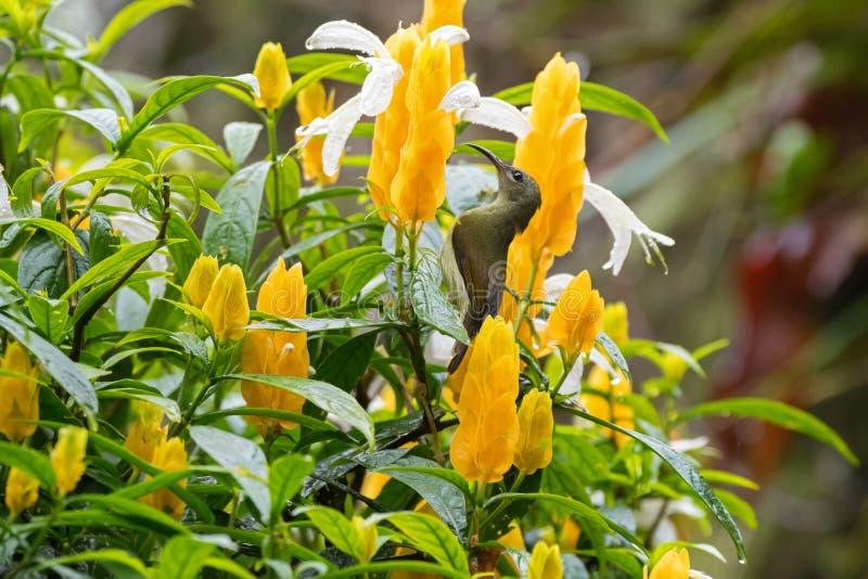 Żeński Throated Sunbird ptasi karmienie na lizak roślinie Iść obrazy stock