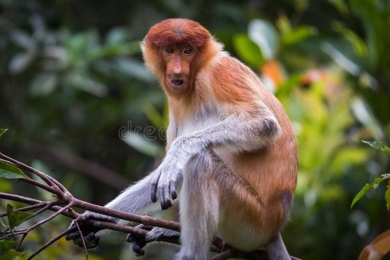 Żeński trąbiastej małpy Nasalis larvatus fotografia stock